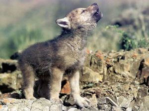 Baby Wolf Howling